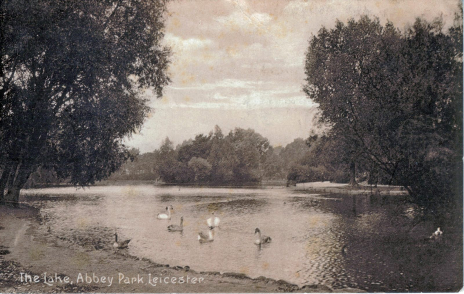 Abbey Park, Leicester. Undated: The lake with swans. (File:1032)
